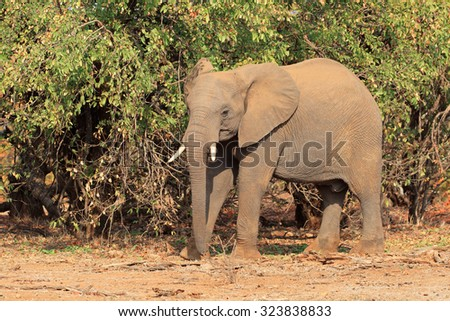 African elephant (Loxodonta africana) in natural habitat, Kruger National Park, South Africa