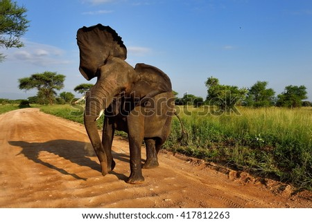 African Elephant (Loxodonta Africana) in natural park - stock photo