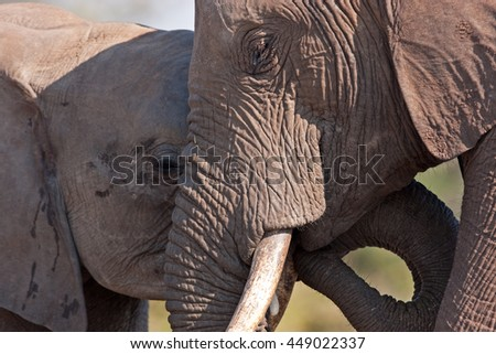 African elephant, loxodonta africana, Kruger national park, South Africa - stock photo