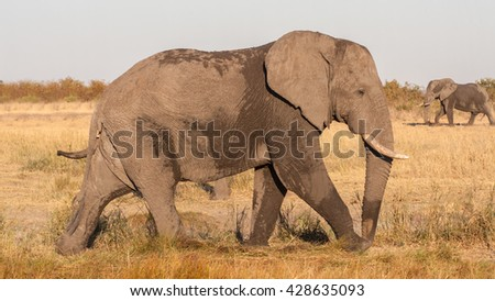 African elephant (Loxodonta africana), Kruger Park, South Africa - stock photo