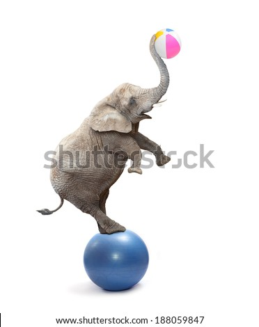 African elephant (Loxodonta africana) playing with balls.  - stock photo