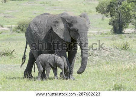 African Elephant (Loxodonta africana) walking on the savanna together with a small baby, Serengeti national park, Tanzania. - stock photo