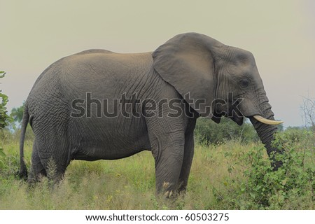 african elephant.  (Loxodonta africana) young bull, NHLOWA, SOUTHERN KRUGER National Park, SOUTH AFRICA - stock photo