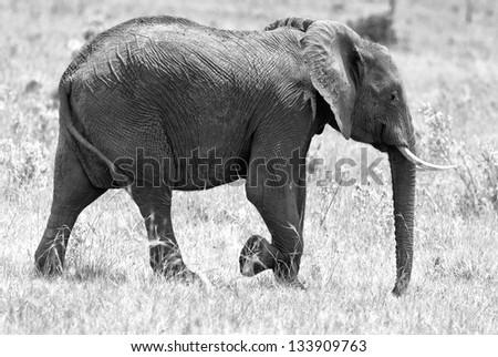 African elephant on the Masai Mara National Reserve - Kenya (black and white) - stock photo