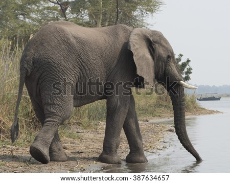 African elephant on the shore of the Malawi lake   - stock photo