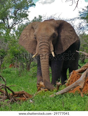 African Elephant Portrait - stock photo
