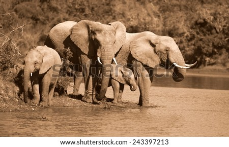 African elephant's splashing,playing and drinking at a waterhole. Taken on safari in Addo elephant national park,eastern cape,south africa - stock photo