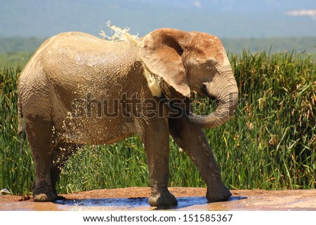 African elephant spraying water onto itself, Addo Elephant National Park, South Africa - stock photo