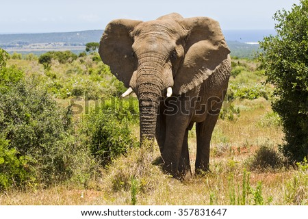 African elephant standing between two bushes in the hot sun - stock photo