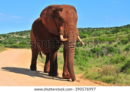 African elephant walking - stock photo