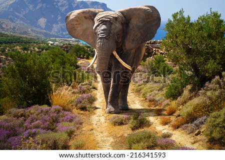 African elephant walking on the road  - stock photo