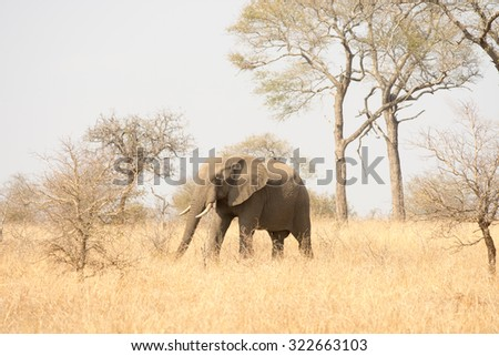African elephant walking through an open field in Kruger National Park, South Africa. - stock photo