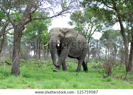 African Elephant walking through open trees and grassland - stock photo