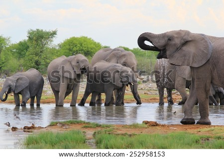 African Elephant - Wildlife Background from Africa - Family Life of a Herd - stock photo