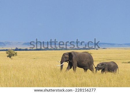 African elephant with calf - stock photo