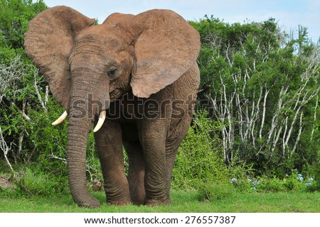 African Elephant with large ears - stock photo