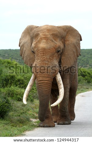 African elephant with large tusks walking down road in African Bush - stock photo