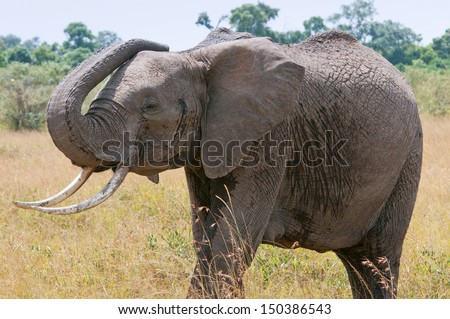 african elephant with raised trunk in the savannah - national park masai mara in kenya - stock photo
