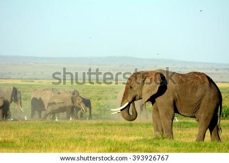 African elephants, Amboseli National Park, Kenya - stock photo