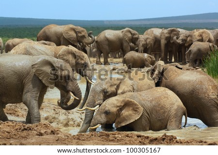 African elephants bathing in a water hole, Addo Elephant National Park near Port Elizabeth, South Africa. - stock photo
