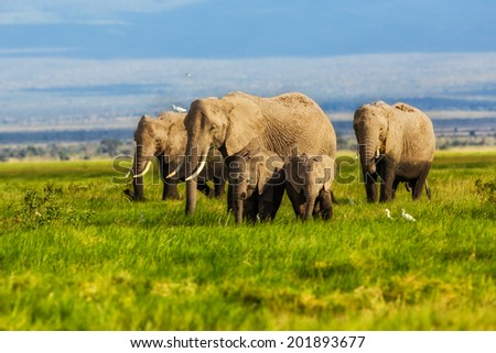 African Elephants eating grass in the swamp of Amboseli National Park, Kenya - stock photo