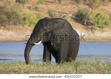 African Elephants feeding and bathing in the Chobe River at Kasane, Botswana - stock photo