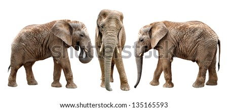 African elephants isolated on white - stock photo