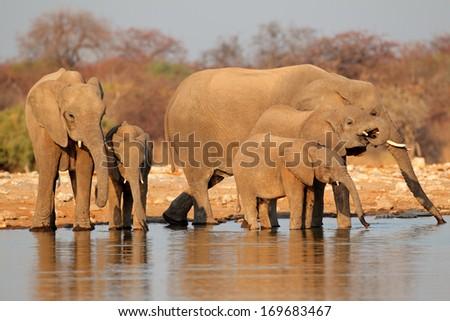 African elephants (Loxodonta africana) drinking water, Etosha National Park, Namibia  - stock photo
