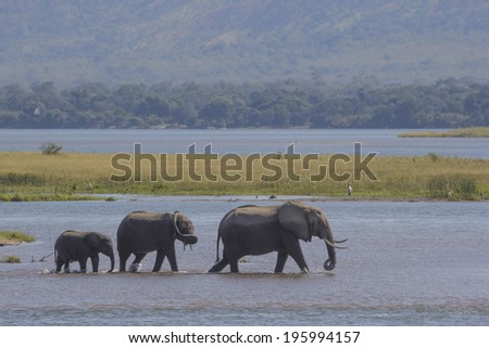 African Elephants walking in the Zambezi river - stock photo