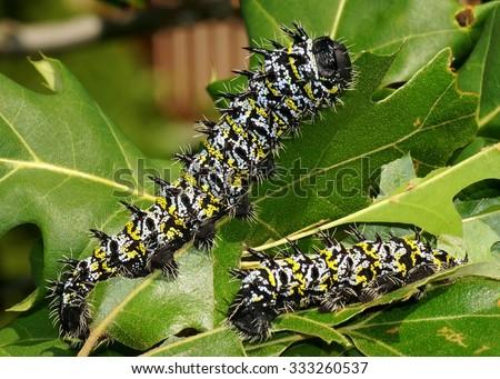 African Emporer Moth caterpillars, Gonimbrasia zambesina - an edible caterpillar from Africa and giant silk moth (sometimes called the mopane worm or mopani) - eating oak leaves - stock photo