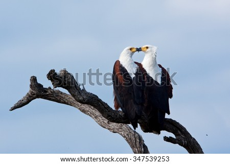 African fish eagle, Haliaeetus vocifer - stock photo