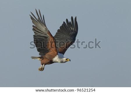 African Fish Eagle (Haliaeetus vocifer) flying, Kruger Park, South Africa - stock photo