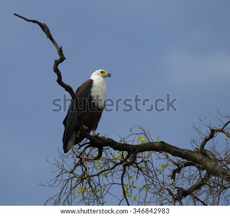 African Fish-Eagle, Haliaeetus vocifer, roosting in tree looking for prey and calling. Mara Triangle, Masai Mara Game Reserve, Kenya, Africa - stock photo
