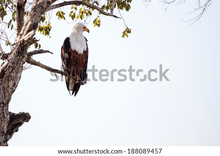 African Fish Eagle in Chobe National Park, Botswana, Africa - stock photo