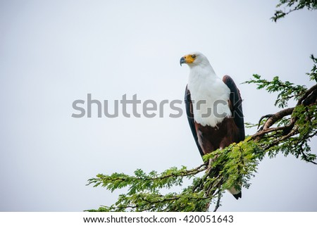 african fish eagle on a branch - stock photo