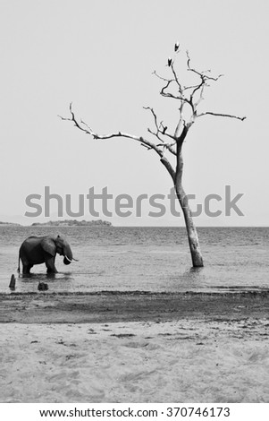 african fish eagle pair and solitary elephant bull enjoying the waters edge of a lake - stock photo