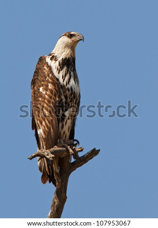 African fish eagle perched high, South Africa - stock photo