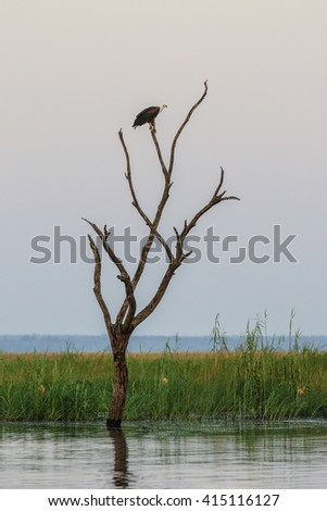 African fish eagle perched in tree over river at sunrise - stock photo