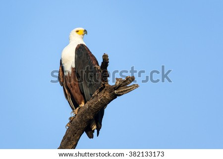 African Fish Eagle perched on dead branch with blue sky - stock photo