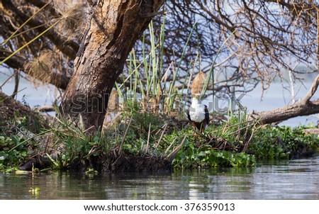 African Fish-Eagle staring at the water edge of Lake Naivasha - stock photo