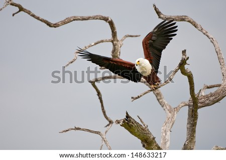 african fish eagle starting to fly - national park selous game reserve in tanzania - stock photo