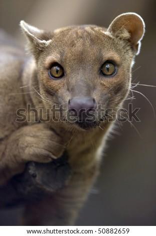 african fossa hunting cat, adult female, madagascar, africa - stock photo