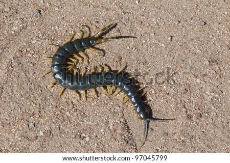 African Giant Blue Centipede - stock photo