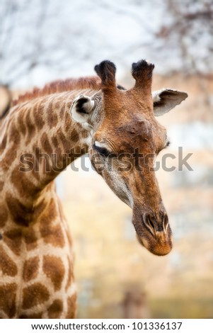 African giraffe against thickets of bushes - stock photo