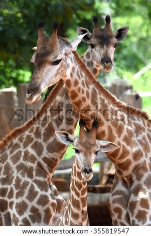 African giraffe baby and family  - stock photo