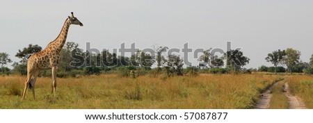 African Giraffe Botswana, Africa - stock photo