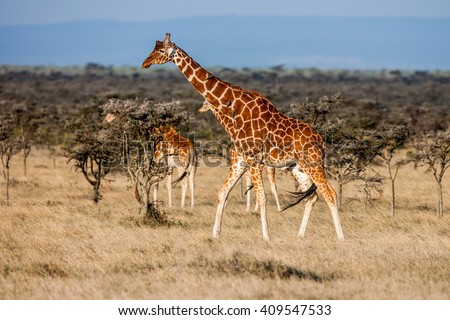 African giraffe in savannah. These graceful and pretty animals are herbivores - stock photo