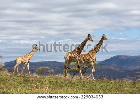 african giraffes walking on game reserve in south africa - stock photo