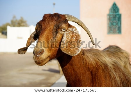 African goat.Egypt. - stock photo