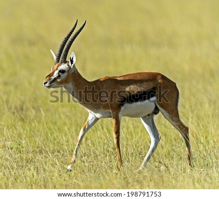African Grant Gazelle in Amboseli National Park . Kenya, Africa - stock photo
